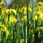 amsterdam dutch iris'